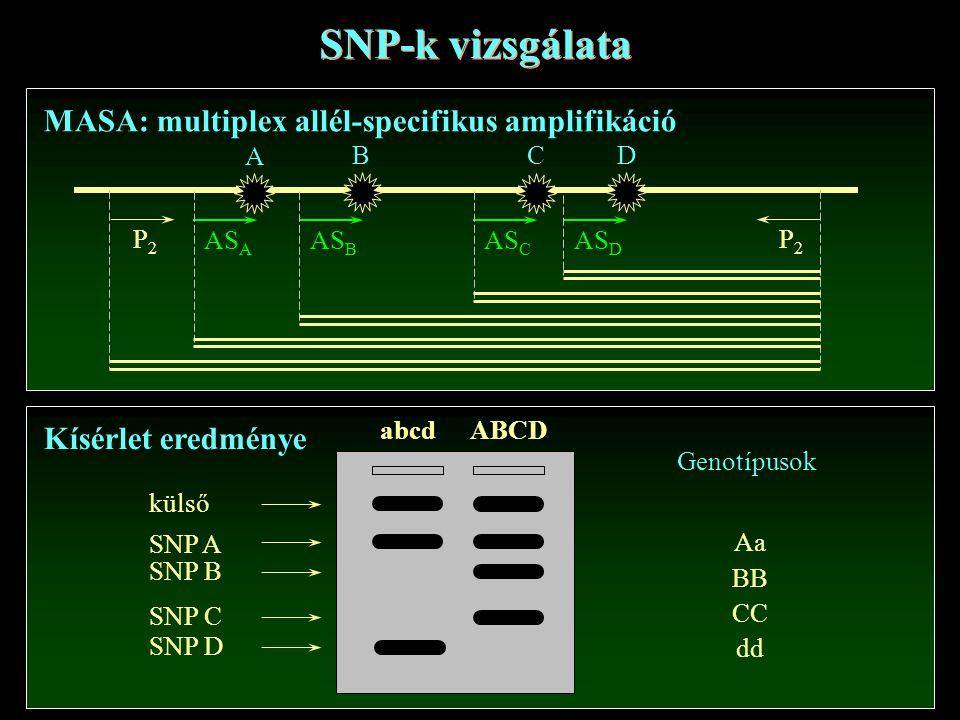 SNP-k vizsgálata MASA: multiplex allél-specifikus amplifikáció