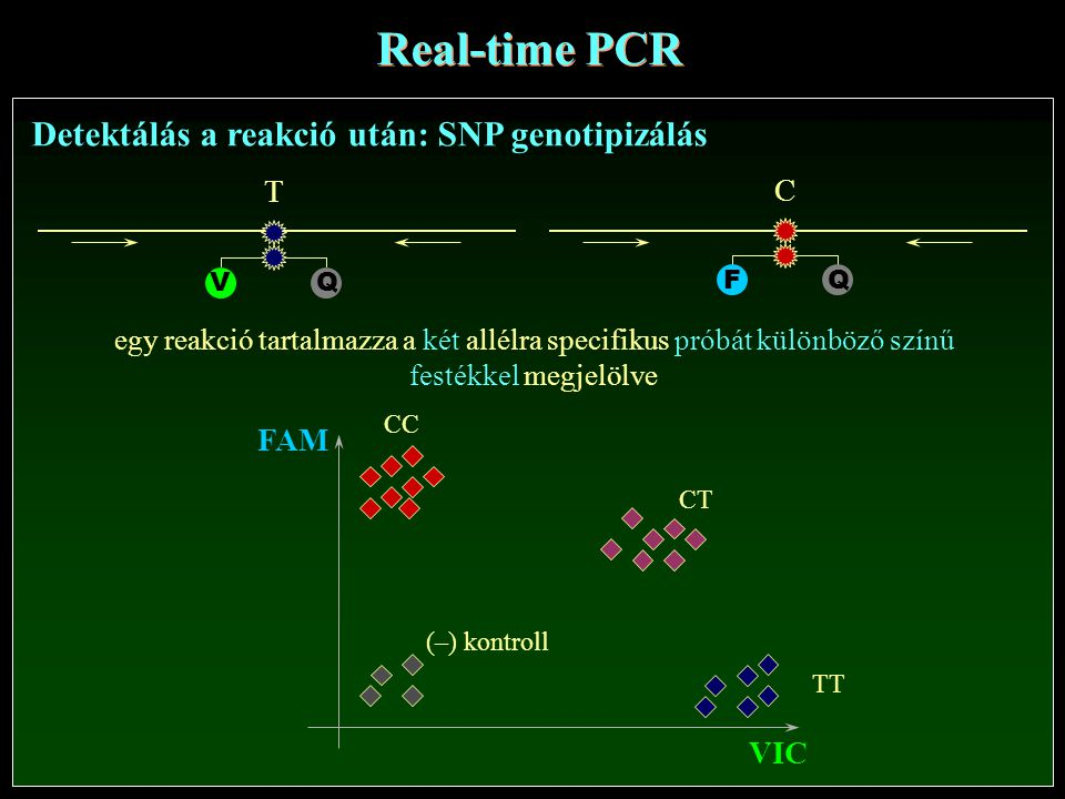 Real-time PCR Detektálás a reakció után: SNP genotipizálás T C FAM VIC