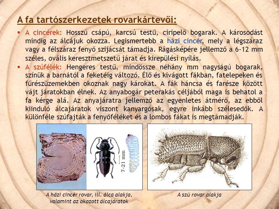A házi cincér rovar, ill. álca alakja, valamint az okozott álcajáratok