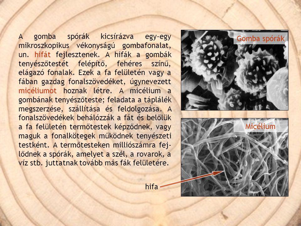 A gomba spórák kicsírázva egy-egy mikroszkopikus vékonyságú gombafonalat, un. hifát fejlesztenek. A hifák a gombák tenyészőtestét felépítő, fehéres színű, elágazó fonalak. Ezek a fa felületén vagy a fában gazdag fonalszövedéket, úgynevezett micéliumot hoznak létre. A micélium a gombának tenyészőteste; feladata a táplálék megszerzése, szállítása és feldolgozása. A fonalszövedékek behálózzák a fát és belőlük a fa felületén termőtestek képződnek, vagy maguk a fonalkötegek működnek tenyészeti testként. A termőtesteken milliószámra fej-lődnek a spórák, amelyet a szél, a rovarok, a víz stb. juttatnak tovább más fák felületére.