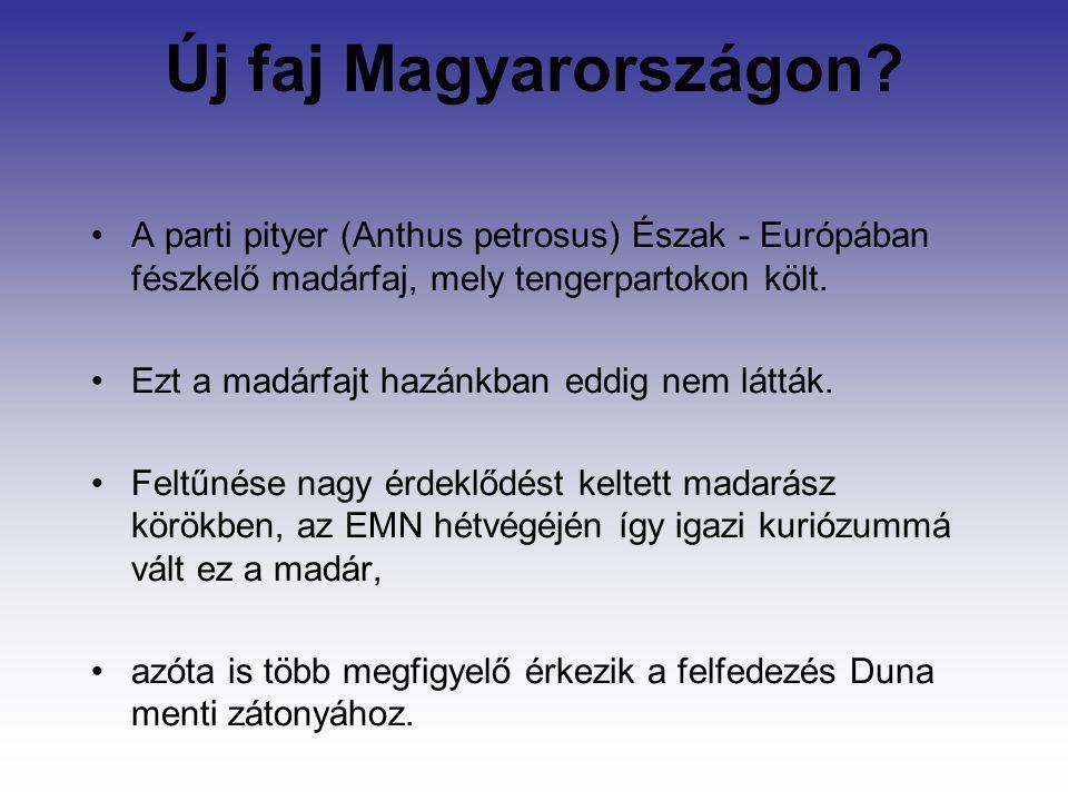 Új faj Magyarországon A parti pityer (Anthus petrosus) Észak - Európában fészkelő madárfaj, mely tengerpartokon költ.