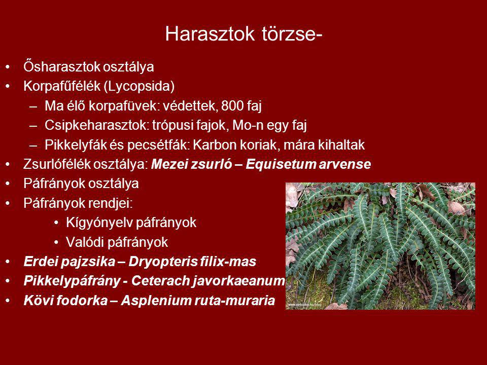 Harasztok törzse- Ősharasztok osztálya Korpafűfélék (Lycopsida)