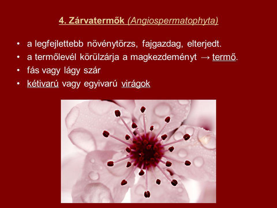 4. Zárvatermők (Angiospermatophyta)