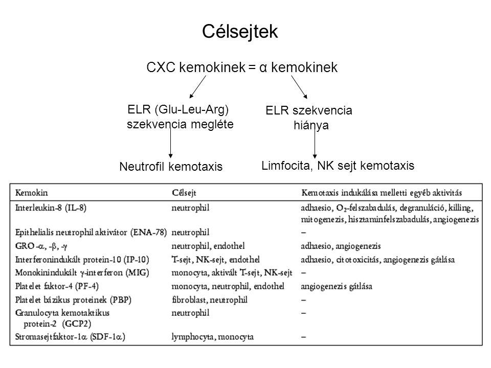 Célsejtek CXC kemokinek = α kemokinek ELR (Glu-Leu-Arg) ELR szekvencia
