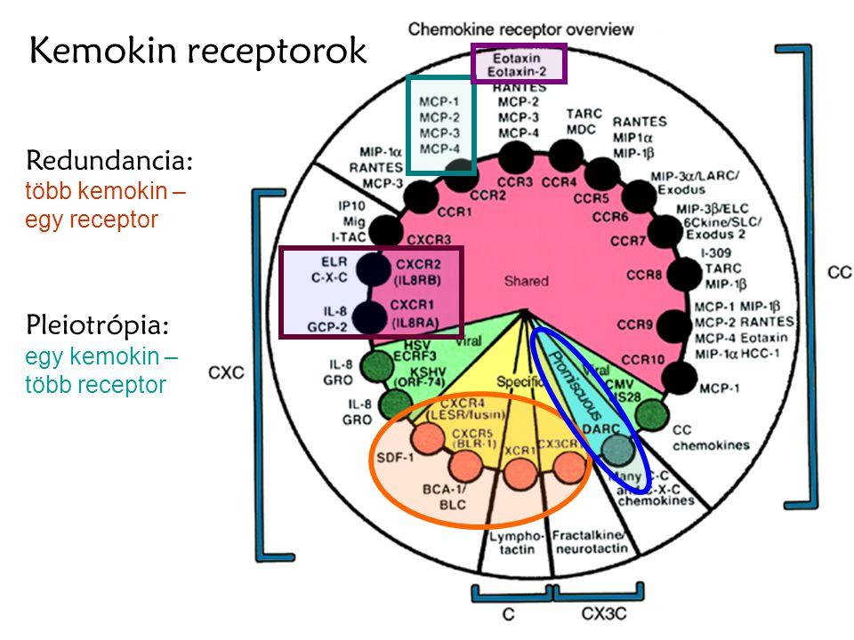 Kemokin receptorok Redundancia: több kemokin – egy receptor