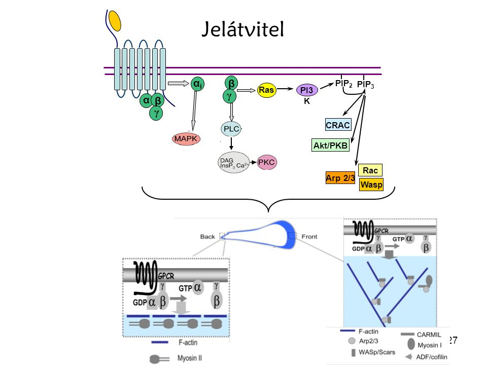 α β γ αi Ras PIP2 PIP3 PI3K CRAC Akt/PKB Rac Wasp Arp 2/3 Jelátvitel