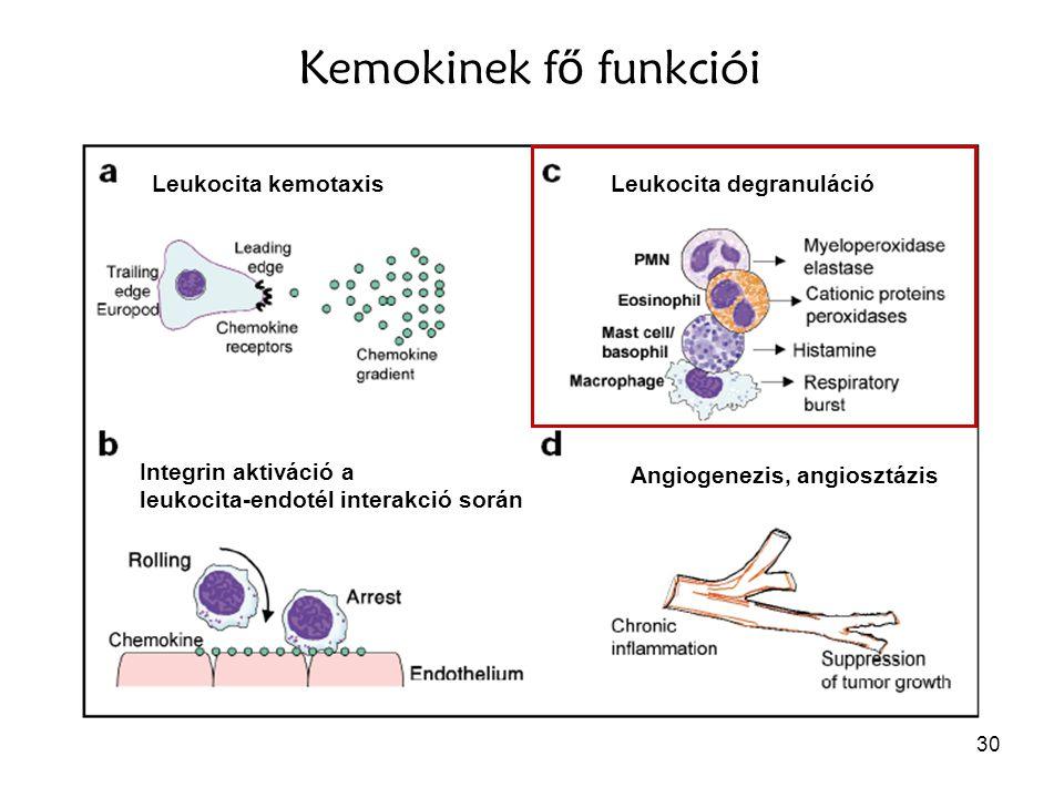 Kemokinek fő funkciói Leukocita kemotaxis Leukocita degranuláció