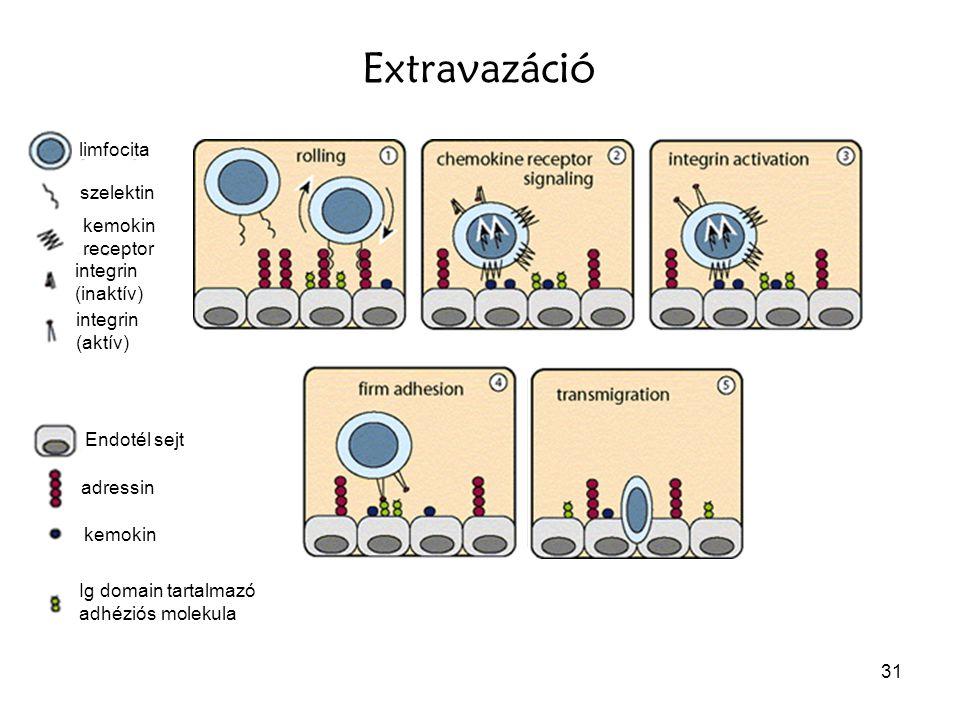 Extravazáció limfocita szelektin kemokin receptor integrin (inaktív)