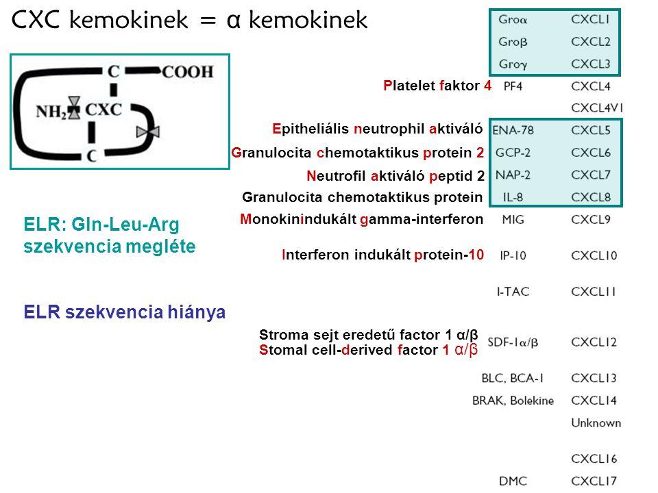 CXC kemokinek = α kemokinek