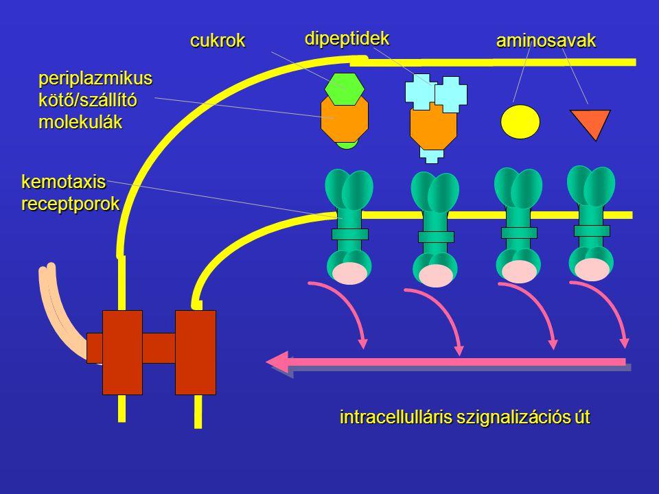 cukrok dipeptidek. aminosavak. periplazmikus. kötő/szállító. molekulák. kemotaxis. receptporok.