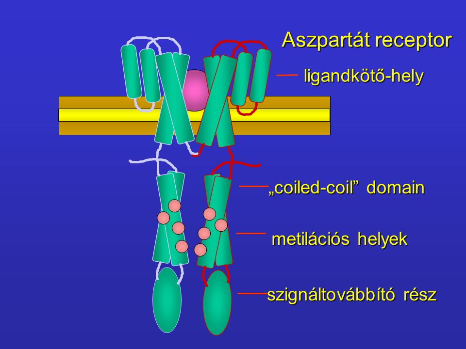 "Aszpartát receptor ligandkötő-hely ""coiled-coil domain"