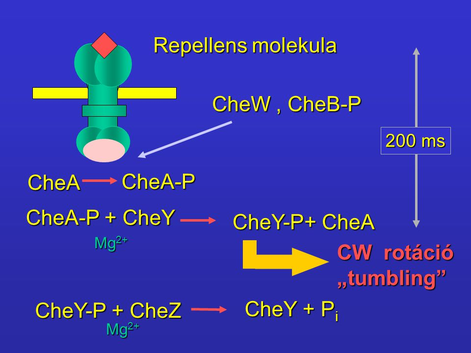 Repellens molekula CheW , CheB-P CheA CheA-P CheA-P + CheY