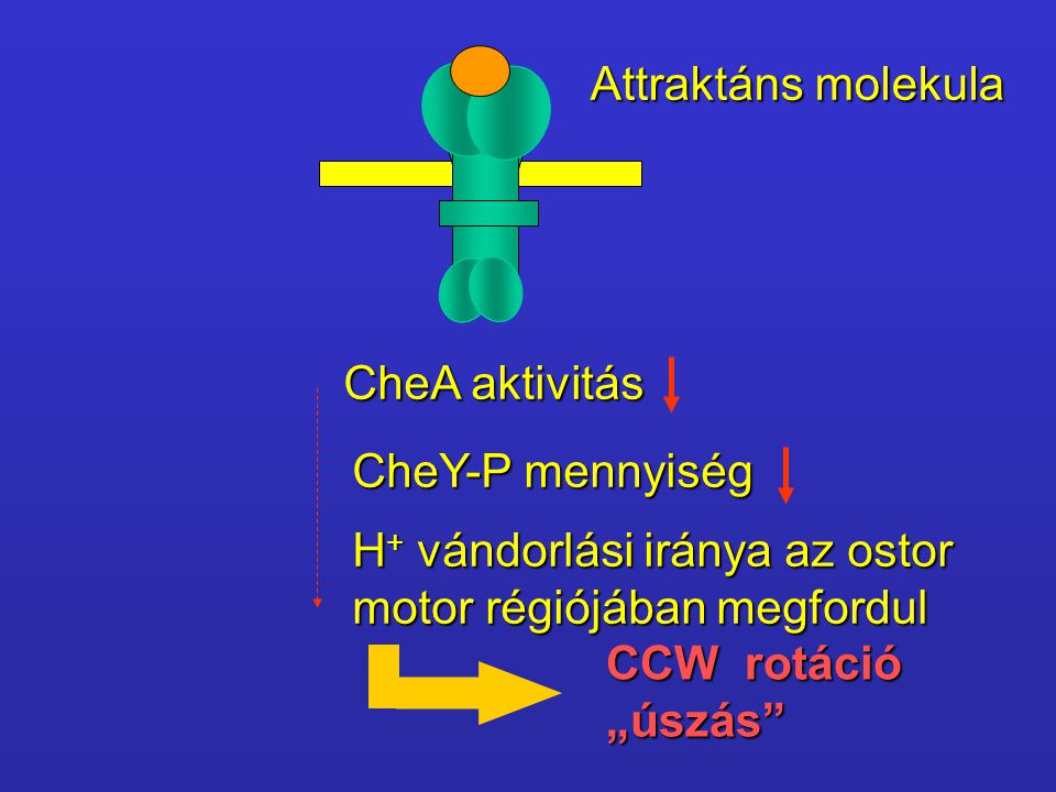 Attraktáns molekula CheA aktivitás. CheY-P mennyiség. H+ vándorlási iránya az ostor. motor régiójában megfordul.