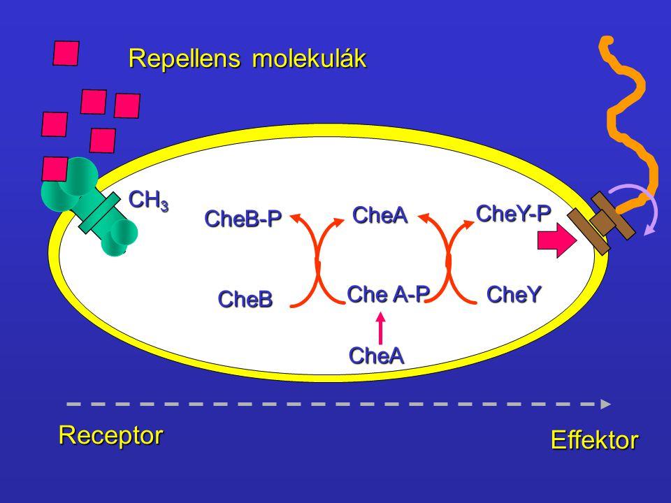 Repellens molekulák Receptor Effektor CH3 CheA CheY-P CheB-P Che A-P