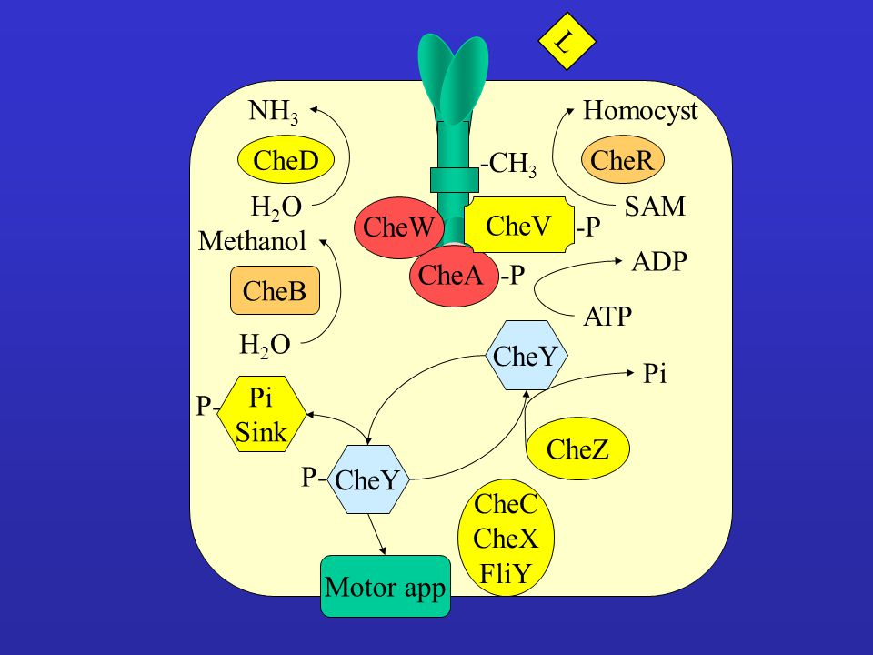 L CheD. H2O. NH3. -CH3. CheR. SAM. Homocyst. CheW. CheV. -P. CheB. H2O. Methanol. -P. ATP.