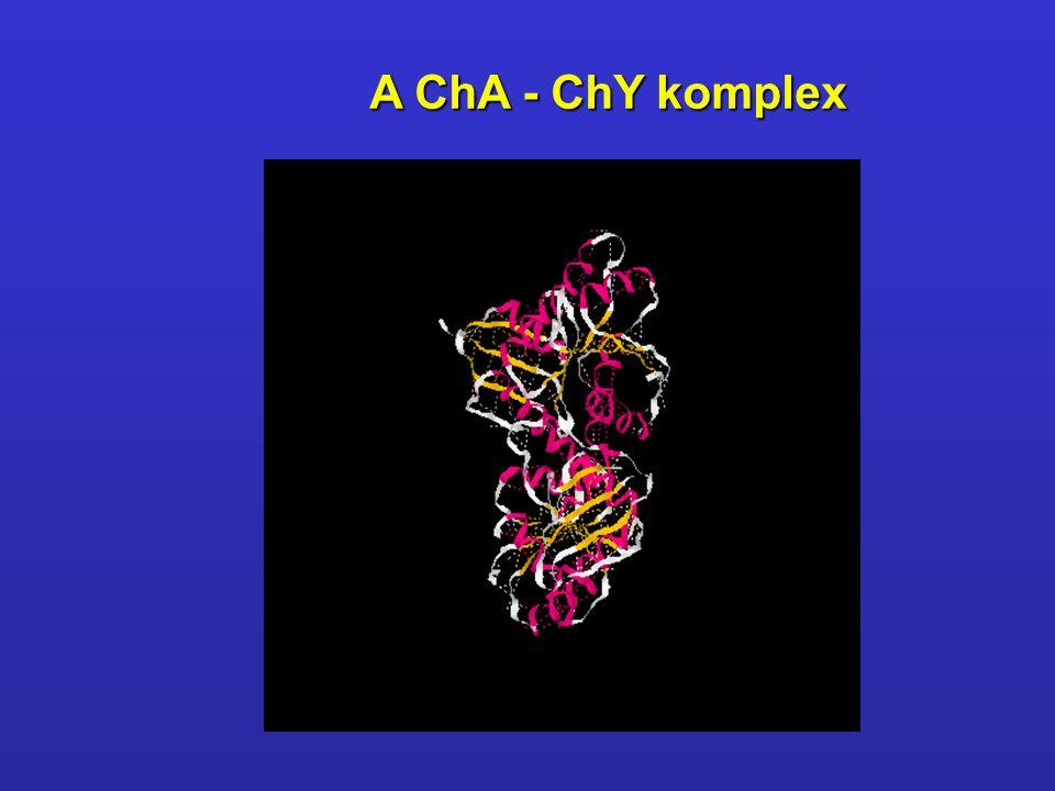 A ChA - ChY komplex