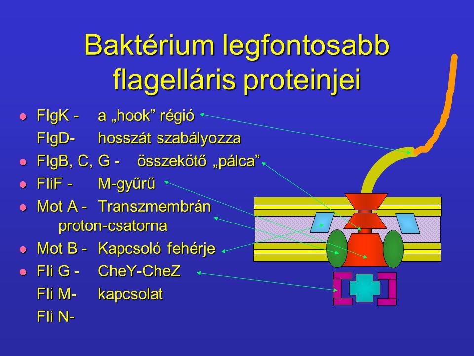 Baktérium legfontosabb flagelláris proteinjei