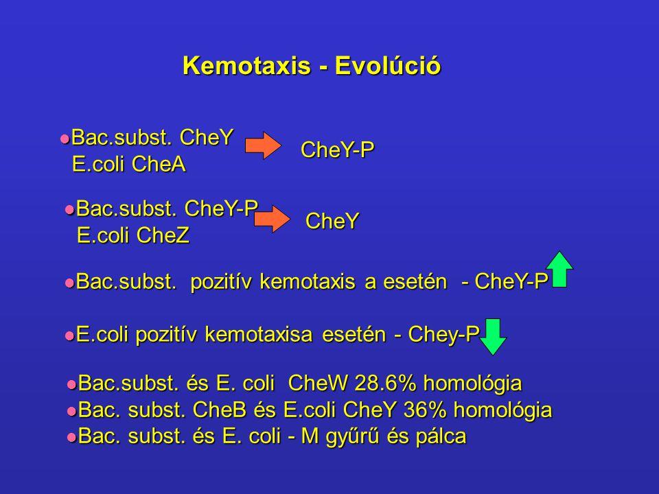 Kemotaxis - Evolúció Bac.subst. CheY E.coli CheA CheY-P