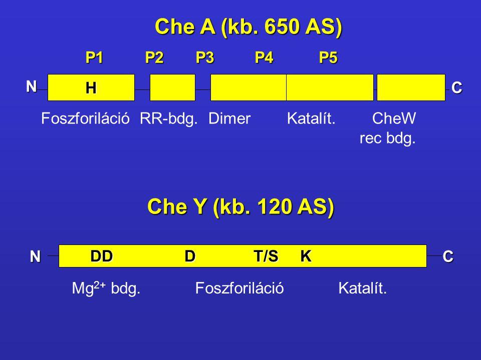 Che A (kb. 650 AS) Che Y (kb. 120 AS) P1 P2 P3 P4 P5 N H C