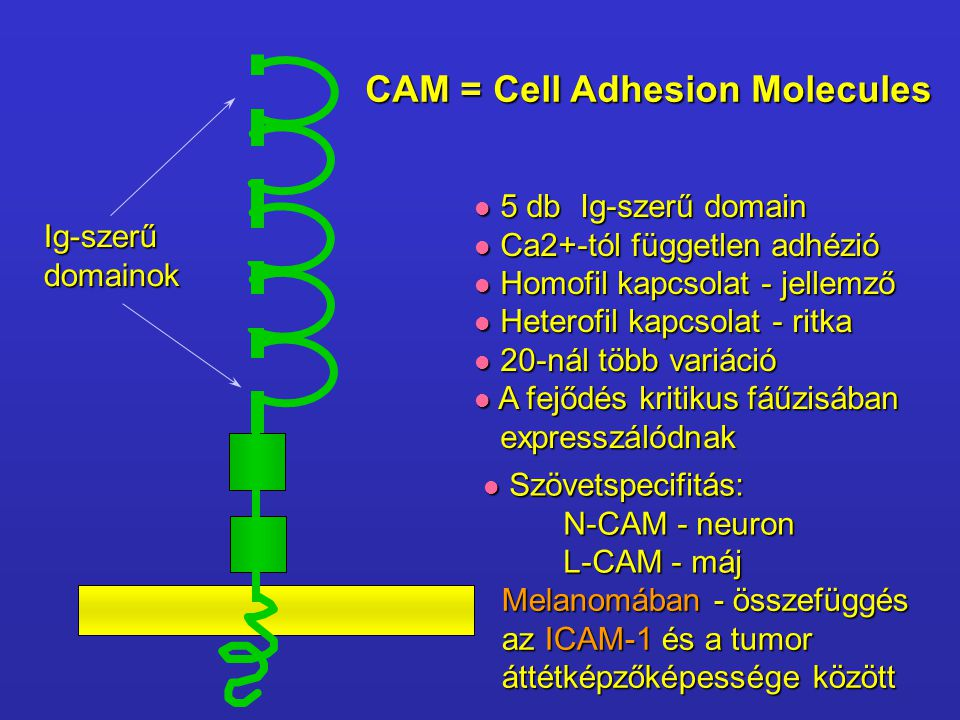CAM = Cell Adhesion Molecules