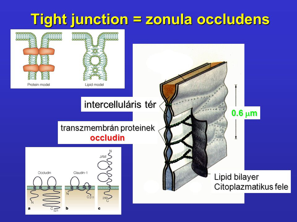 Tight junction = zonula occludens