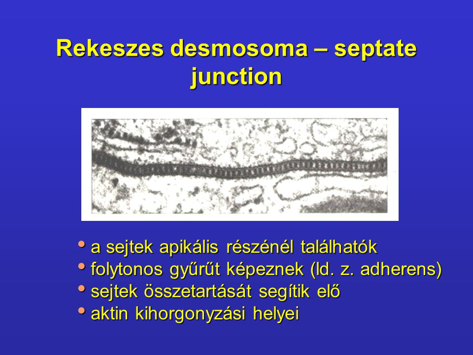 Rekeszes desmosoma – septate junction