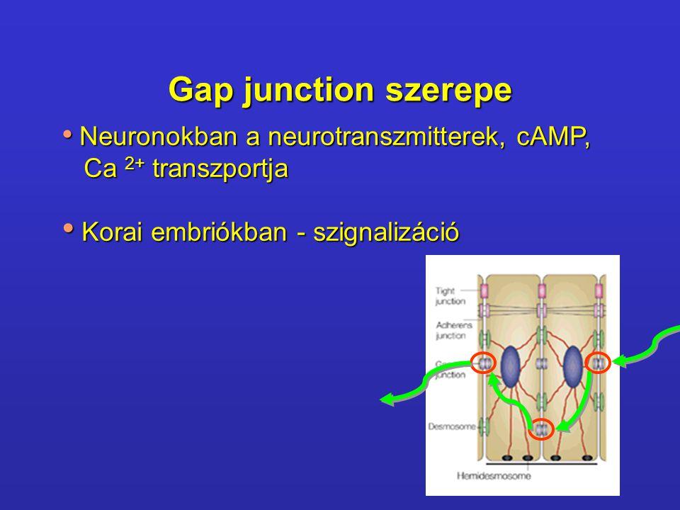 Gap junction szerepe Ca 2+ transzportja