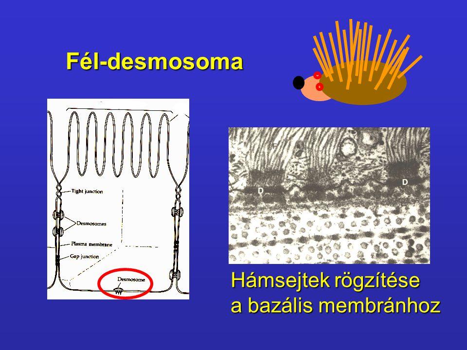 Fél-desmosoma Hámsejtek rögzítése a bazális membránhoz