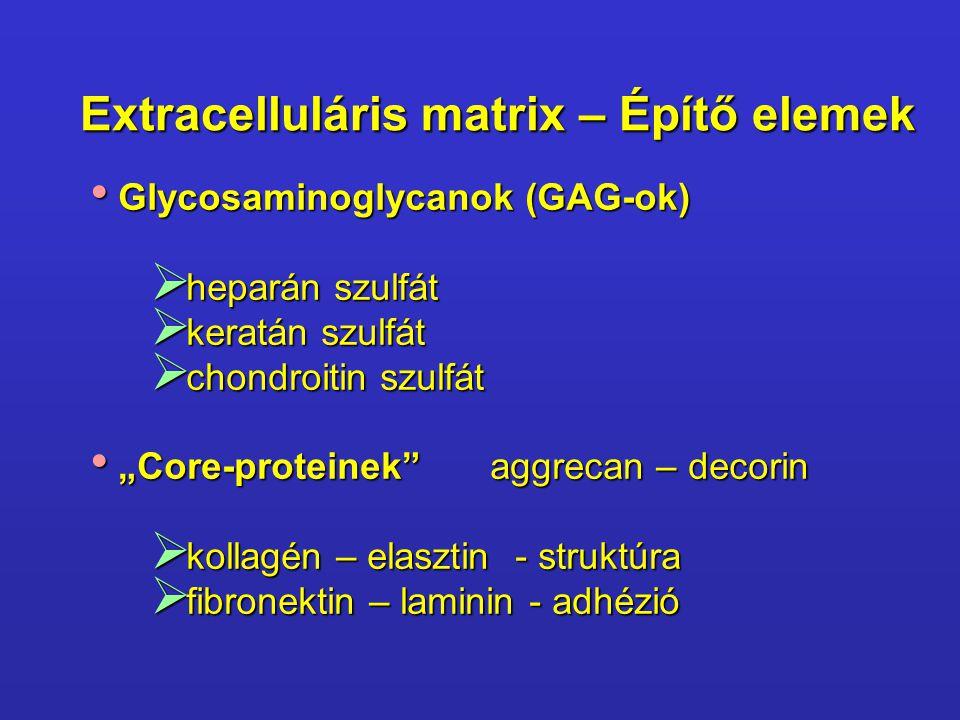 Extracelluláris matrix – Építő elemek