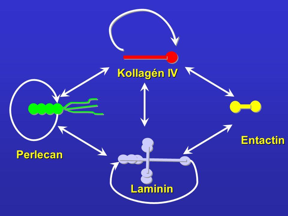 Kollagén IV Entactin Perlecan Laminin