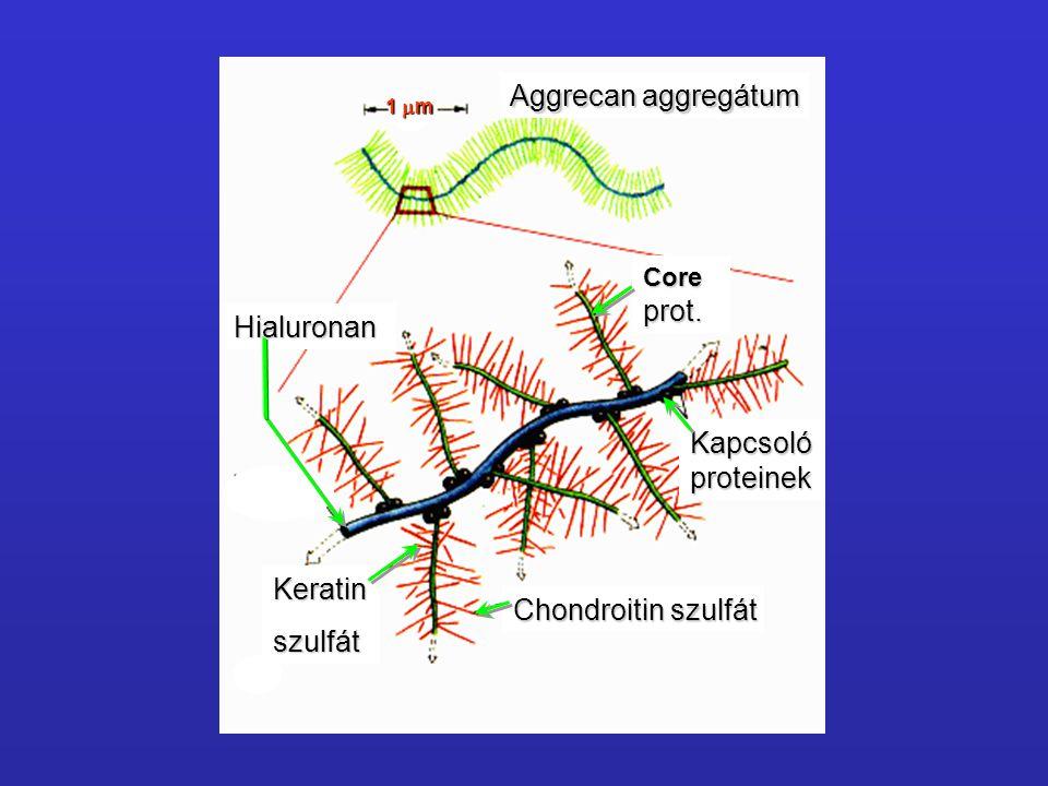 Aggrecan aggregátum prot. Hialuronan Kapcsoló proteinek Keratin
