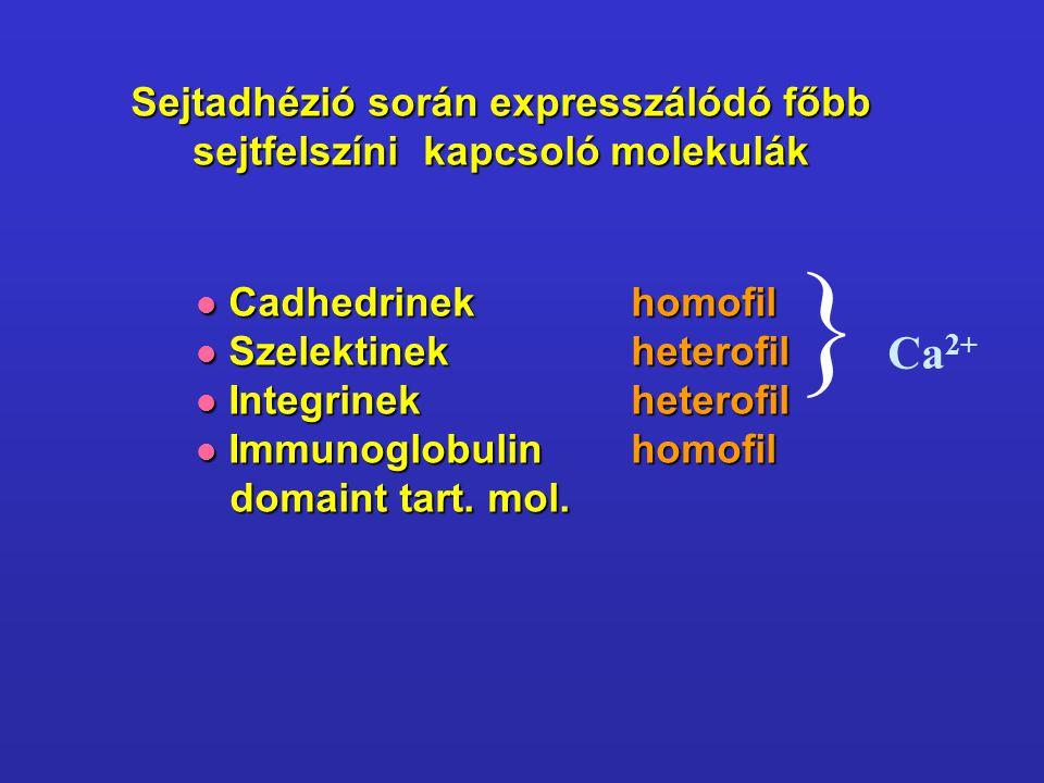 Sejtadhézió során expresszálódó főbb sejtfelszíni kapcsoló molekulák