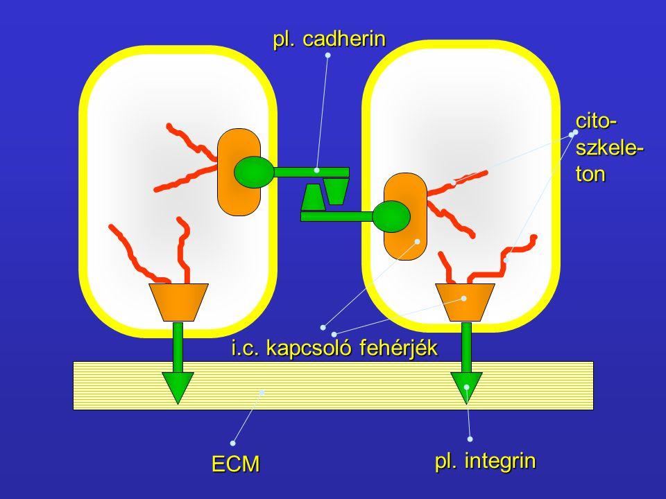 pl. cadherin cito- szkele- ton i.c. kapcsoló fehérjék ECM pl. integrin
