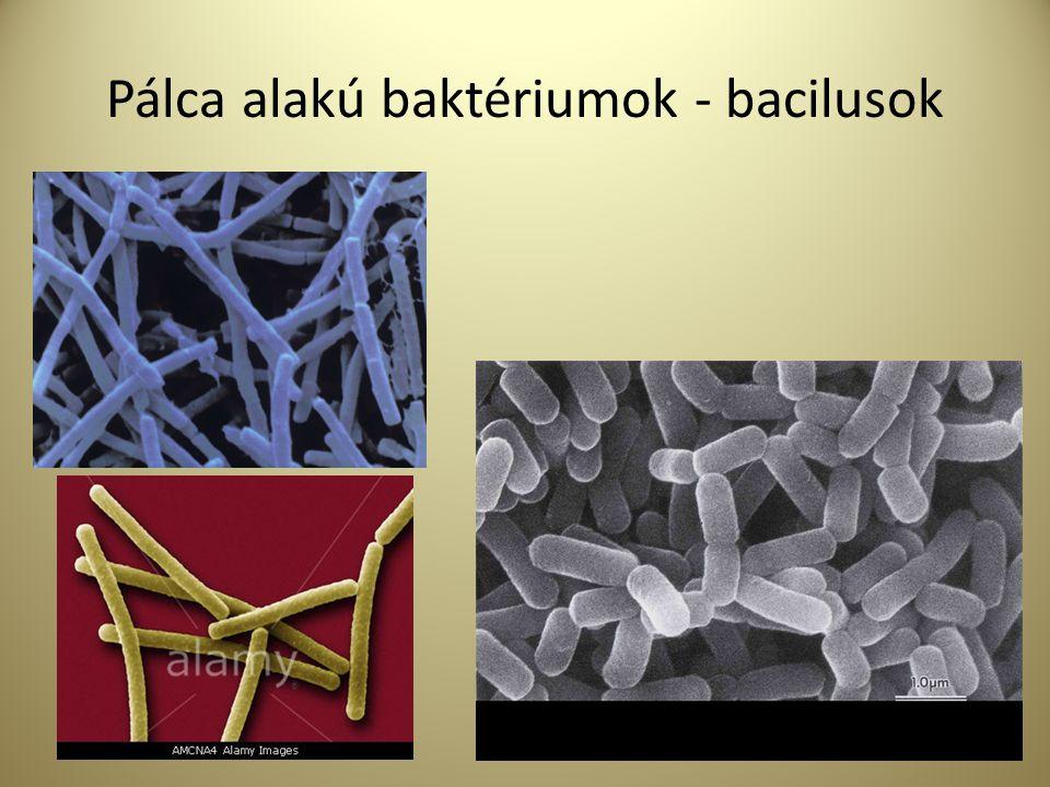 Pálca alakú baktériumok - bacilusok