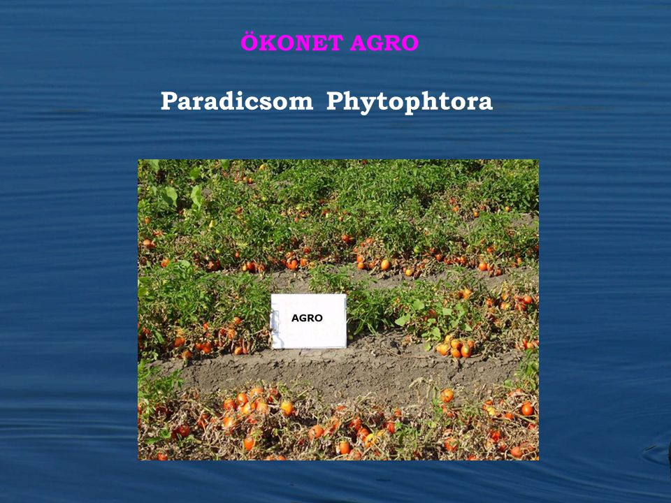 Paradicsom Phytophtora