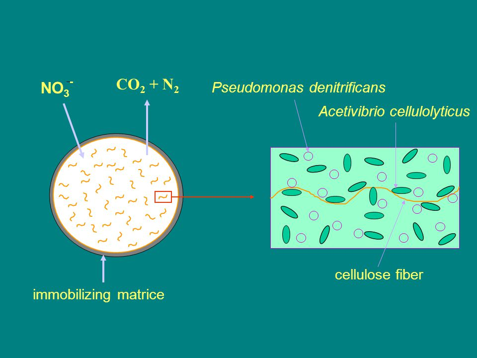 CO2 + N2 NO3- Pseudomonas denitrificans Acetivibrio cellulolyticus