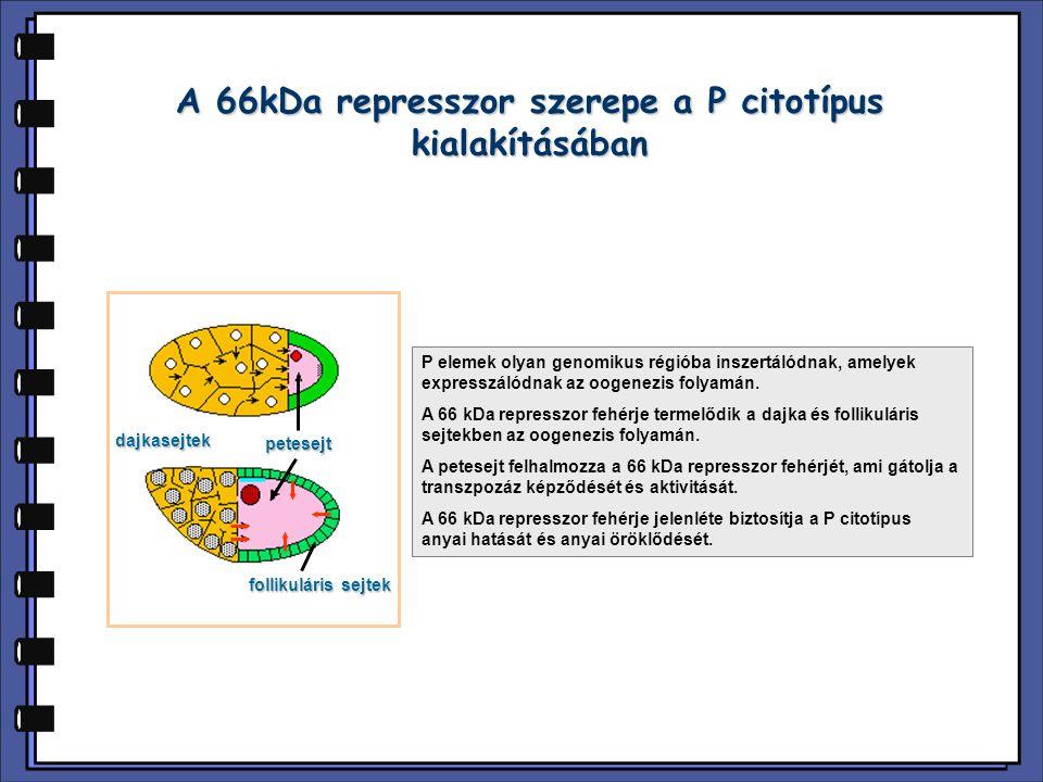 A 66kDa represszor szerepe a P citotípus kialakításában