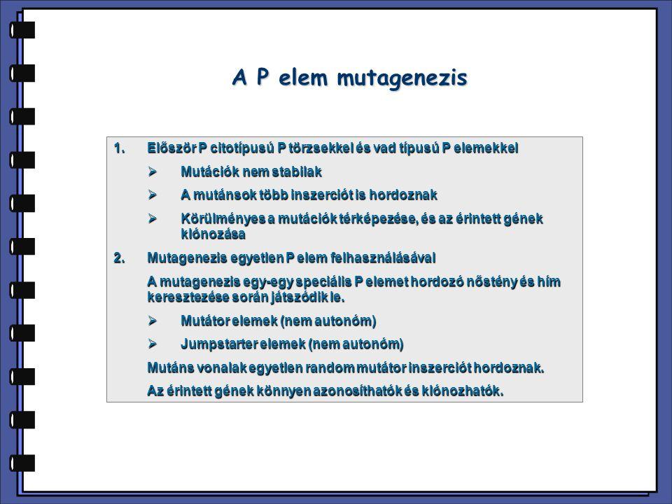 A P elem mutagenezis Először P citotípusú P törzsekkel és vad típusú P elemekkel. Mutációk nem stabilak.