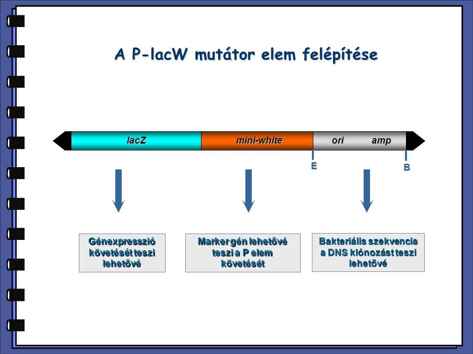 A P-lacW mutátor elem felépítése