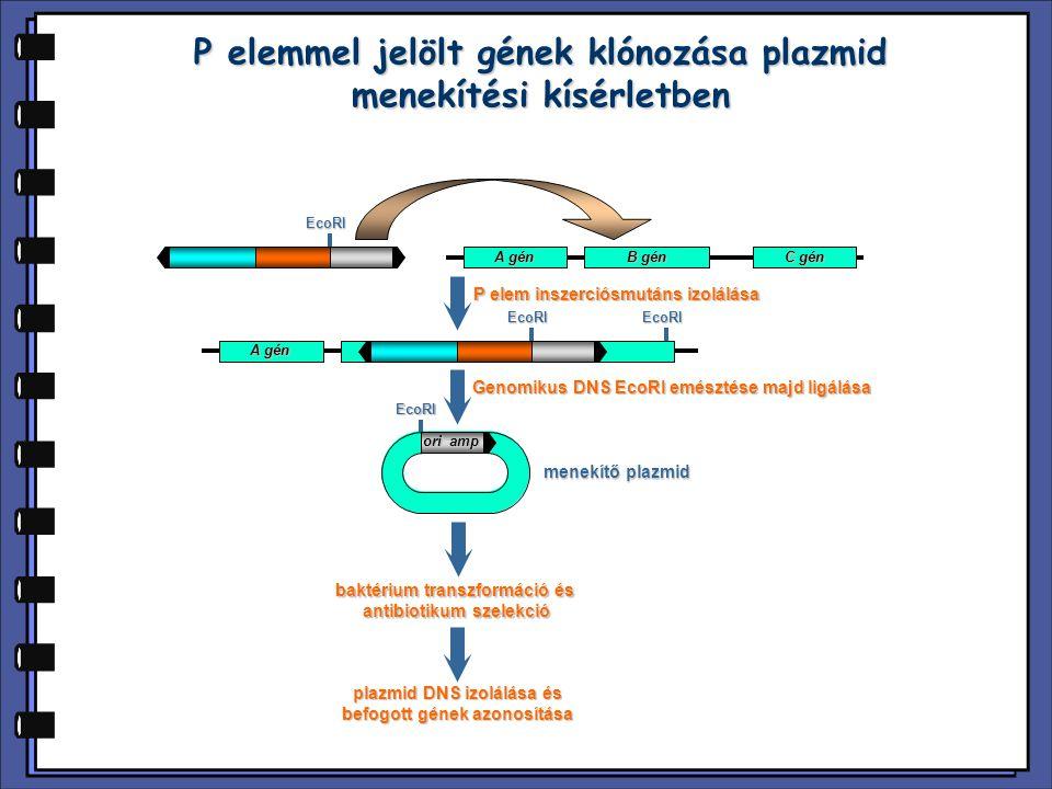 P elemmel jelölt gének klónozása plazmid menekítési kísérletben