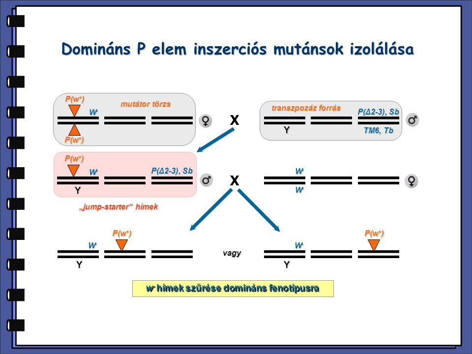 Domináns P elem inszerciós mutánsok izolálása