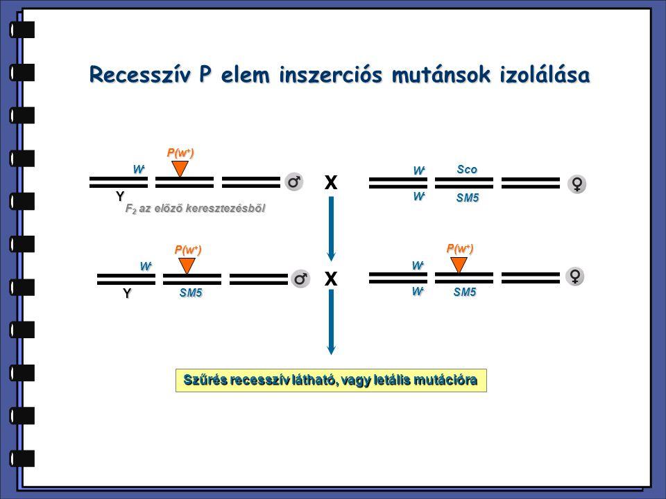 Recesszív P elem inszerciós mutánsok izolálása