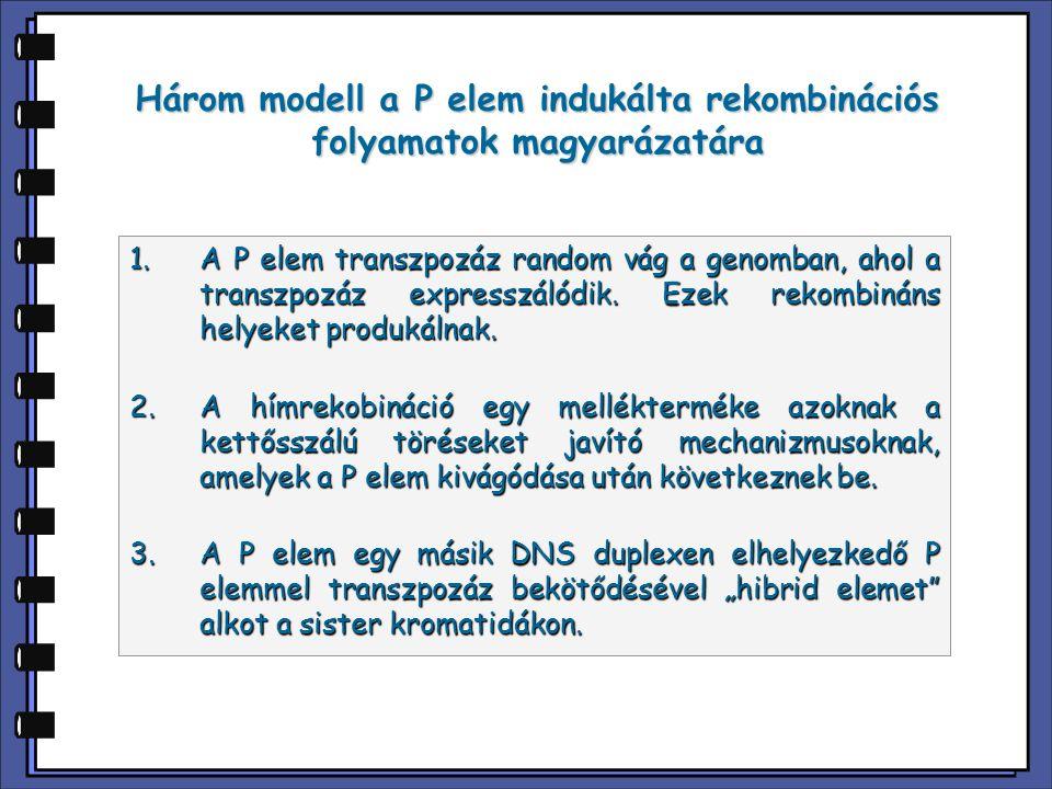 Három modell a P elem indukálta rekombinációs folyamatok magyarázatára