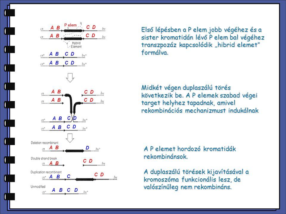 A P elemet hordozó kromatidák rekombinánsok.