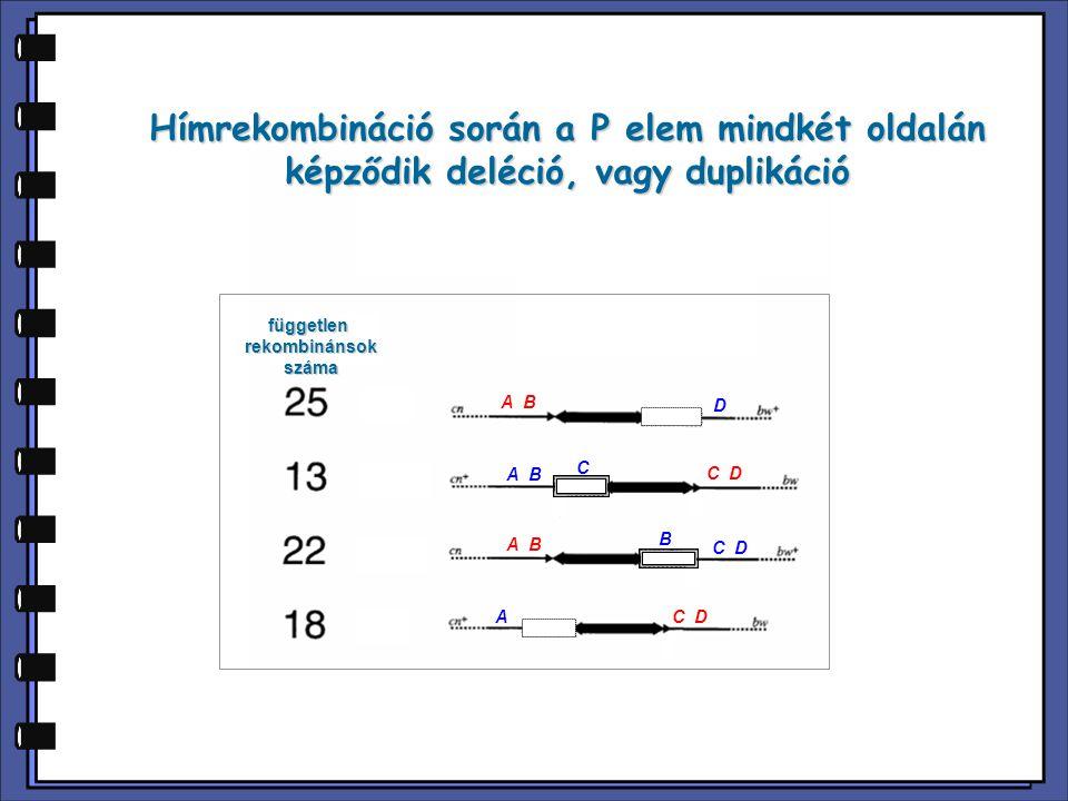 Hímrekombináció során a P elem mindkét oldalán képződik deléció, vagy duplikáció