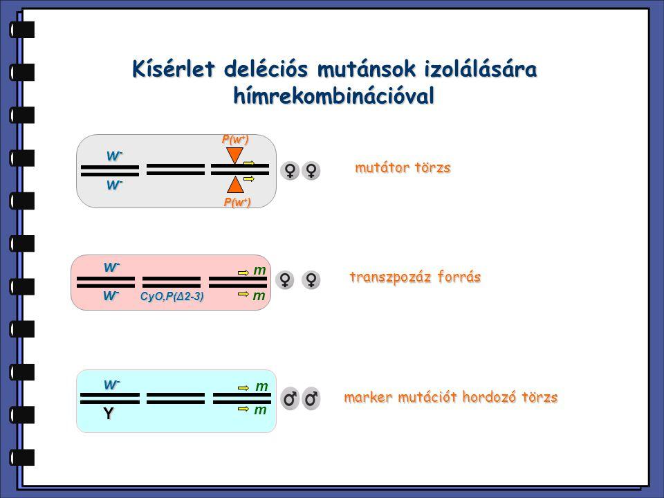 Kísérlet deléciós mutánsok izolálására hímrekombinációval