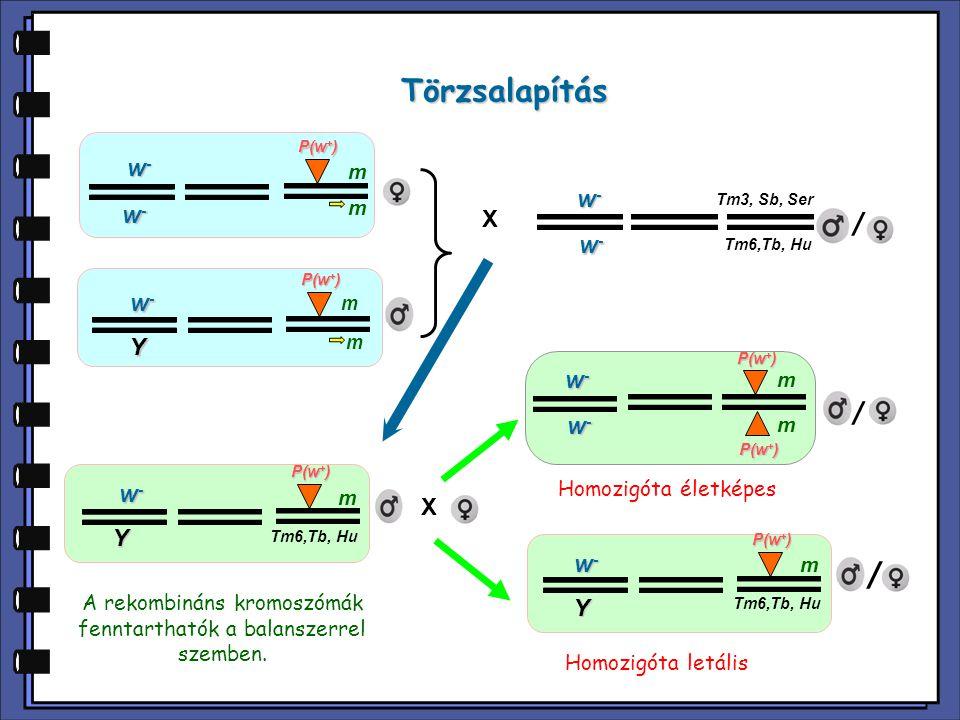A rekombináns kromoszómák fenntarthatók a balanszerrel szemben.