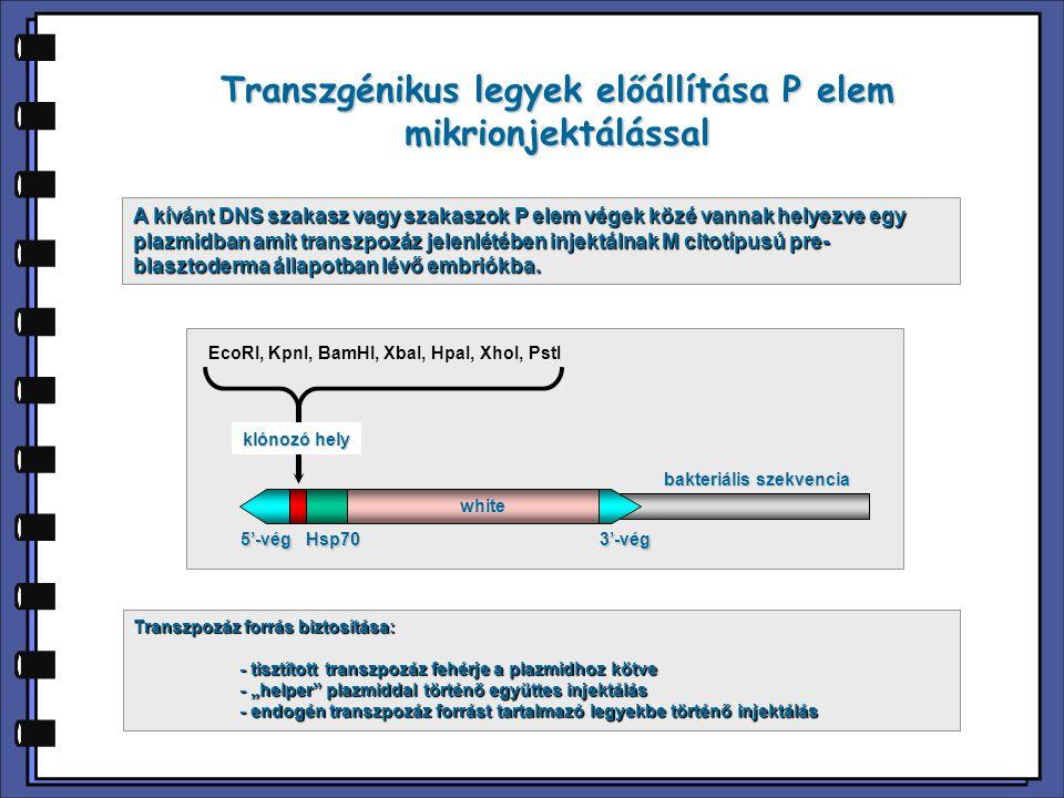 Transzgénikus legyek előállítása P elem mikrionjektálással