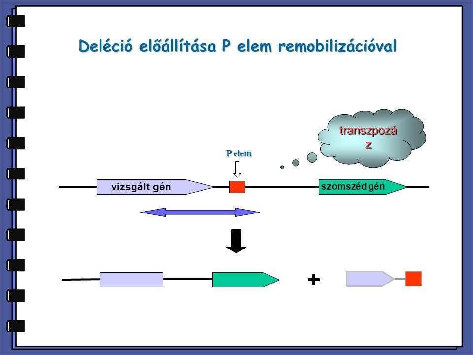 Deléció előállítása P elem remobilizációval