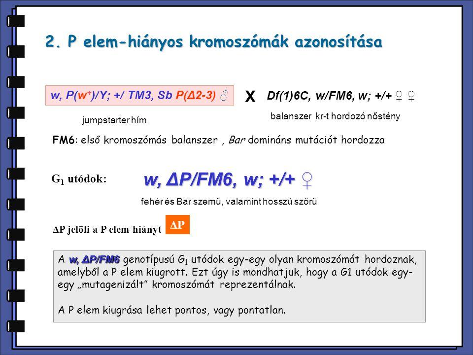 w, ΔP/FM6, w; +/+ ♀ 2. P elem-hiányos kromoszómák azonosítása X